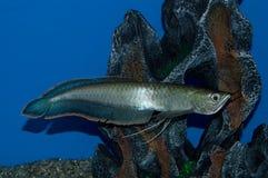 Μπλε ψάρια Arowana Στοκ φωτογραφία με δικαίωμα ελεύθερης χρήσης