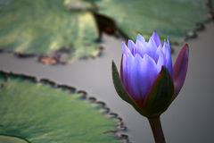 μπλε ύδωρ λουλουδιών lilly Στοκ Φωτογραφίες