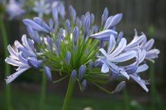 μπλε agapanthus στοκ φωτογραφία με δικαίωμα ελεύθερης χρήσης