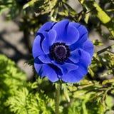 Μπλε anemone, λουλούδι άνοιξη στον κήπο Στοκ φωτογραφία με δικαίωμα ελεύθερης χρήσης