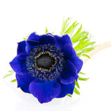 μπλε anemone Στοκ Φωτογραφία