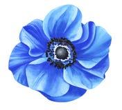 Μπλε anemone Watercolor που απομονώνεται στο άσπρο υπόβαθρο Στοκ φωτογραφία με δικαίωμα ελεύθερης χρήσης