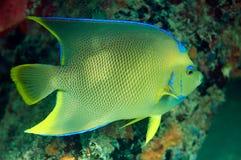 Μπλε Angelfish Στοκ εικόνες με δικαίωμα ελεύθερης χρήσης