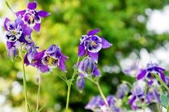 Μπλε aquilegia Aquilegia λουλουδιών vulgaris σε έναν κήπο σε ένα βεραμάν υπόβαθρο Στοκ Εικόνες