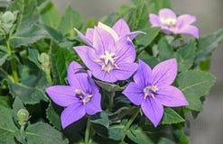 Μπλε astra grandiflorus Platycodon, λουλούδι μπαλονιών με τους οφθαλμούς στοκ φωτογραφία με δικαίωμα ελεύθερης χρήσης