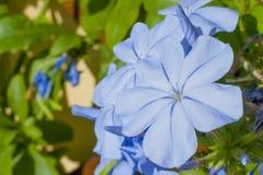 Μπλε auriculata Plumbago λουλουδιών Plumbago στο πράσινο υπόβαθρο Στοκ εικόνες με δικαίωμα ελεύθερης χρήσης