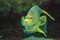 Μπλε bermudensis Holacanthus angelfish των Βερμούδων Στοκ φωτογραφία με δικαίωμα ελεύθερης χρήσης