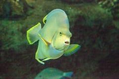 Μπλε bermudensis Holacanthus angelfish των Βερμούδων Στοκ Φωτογραφίες