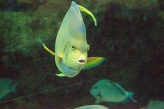 Μπλε bermudensis Holacanthus angelfish των Βερμούδων Στοκ Εικόνες