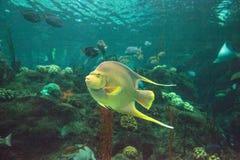 Μπλε bermudensis Holacanthus angelfish των Βερμούδων Στοκ φωτογραφίες με δικαίωμα ελεύθερης χρήσης