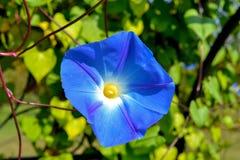 Μπλε bindweed λουλούδι Στοκ φωτογραφία με δικαίωμα ελεύθερης χρήσης