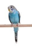 μπλε budgie Στοκ Εικόνα