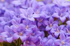 Μπλε Campanula Στοκ εικόνα με δικαίωμα ελεύθερης χρήσης