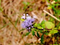 Μπλε coelestinum Conoclinium aka Mistflower Στοκ φωτογραφία με δικαίωμα ελεύθερης χρήσης