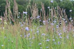 Μπλε cornflowers σε έναν τομέα λιβαδιών Στοκ Εικόνες