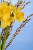 μπλε daffodils Στοκ εικόνα με δικαίωμα ελεύθερης χρήσης