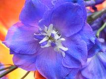μπλε delphinium πανέμορφο Στοκ εικόνες με δικαίωμα ελεύθερης χρήσης