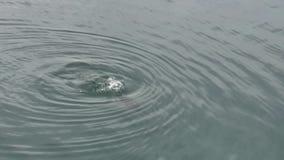 Μπλε-eyed κορμοράνος που βουτά στο σαφές νερό και κολυμπά σε το φιλμ μικρού μήκους