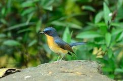 μπλε flycatcher αρσενικό λόφων στοκ εικόνα με δικαίωμα ελεύθερης χρήσης