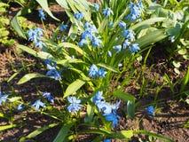 Μπλε forget-me-not λουλούδια myosotis στον κήπο στοκ εικόνες