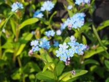 Μπλε forget-me-not λουλούδια myosotis στο θερινό κήπο στοκ εικόνα