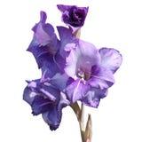 μπλε gladiolus λουλουδιών Στοκ εικόνα με δικαίωμα ελεύθερης χρήσης
