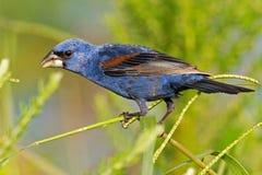 μπλε grosbeak Στοκ Εικόνα