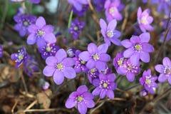 Μπλε hepatica Anemone hepatica, nobilis Hepatica Στοκ φωτογραφία με δικαίωμα ελεύθερης χρήσης