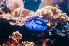 Μπλε hepatus paracanthurus ψαριών γεύσης που κολυμπά στο νερό δημοφιλής Στοκ Εικόνα