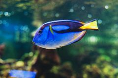 Μπλε hepatus paracanthurus surgeonfish ψαριών στοκ φωτογραφία με δικαίωμα ελεύθερης χρήσης