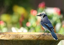 Μπλε jay πουλί που σκαρφαλώνει σε ένα birdbath Στοκ φωτογραφία με δικαίωμα ελεύθερης χρήσης