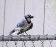 Μπλε jay στο φράκτη Στοκ φωτογραφία με δικαίωμα ελεύθερης χρήσης