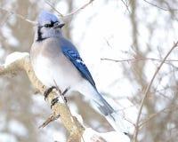 μπλε jay Στοκ εικόνες με δικαίωμα ελεύθερης χρήσης