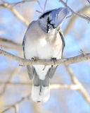 μπλε jay Στοκ Εικόνες
