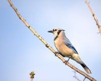 μπλε jay Στοκ Φωτογραφία