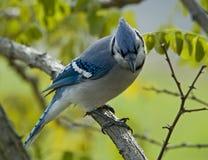 μπλε jay Στοκ Φωτογραφίες