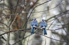 μπλε jays δύο Στοκ Φωτογραφίες
