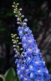 Μπλε Larkspur Delphinium με το λευκό κέντρο λουλουδιών Στοκ φωτογραφία με δικαίωμα ελεύθερης χρήσης