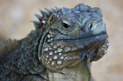 μπλε lewisi iguana cyclura Στοκ Φωτογραφία