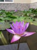 Μπλε Lotus στοκ φωτογραφίες με δικαίωμα ελεύθερης χρήσης