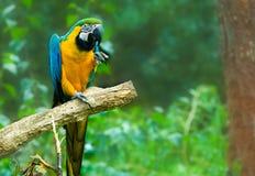 μπλε macaw κίτρινο Στοκ εικόνα με δικαίωμα ελεύθερης χρήσης