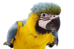 μπλε macaw κίτρινο στοκ εικόνα