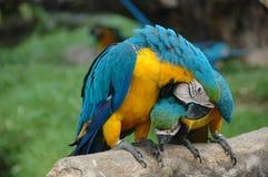 Μπλε Macaw (ararauna Ara) Στοκ Φωτογραφίες