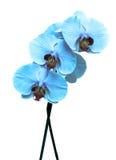 μπλε orchid λευκό στοκ φωτογραφίες με δικαίωμα ελεύθερης χρήσης