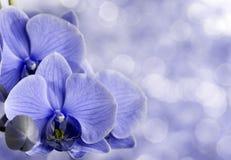 μπλε orchid Στοκ Φωτογραφία