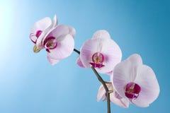 μπλε orchid Στοκ φωτογραφία με δικαίωμα ελεύθερης χρήσης