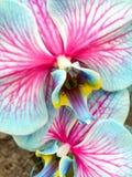 μπλε orchids Στοκ εικόνα με δικαίωμα ελεύθερης χρήσης