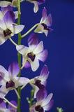 μπλε orchids Στοκ φωτογραφίες με δικαίωμα ελεύθερης χρήσης