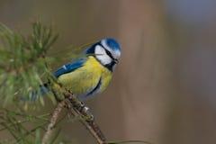 μπλε parus caeruelus aka tit Στοκ φωτογραφία με δικαίωμα ελεύθερης χρήσης