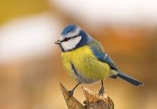 μπλε parus caeruleus aka tit Στοκ εικόνα με δικαίωμα ελεύθερης χρήσης